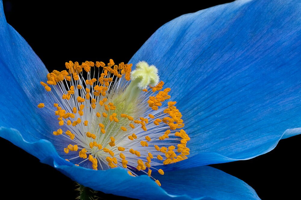 Blue Poppy by Margaret Barry