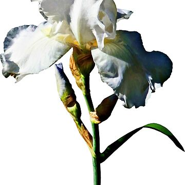 White Iris in Sunshine by SudaP0408