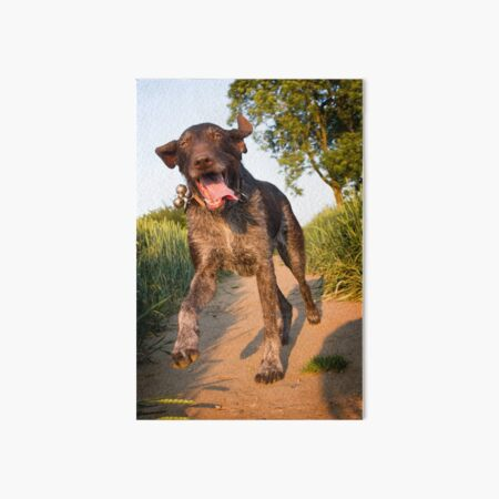Happy German Wirehaired Pointer running Art Board Print