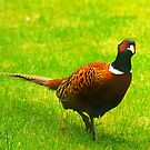 Pheasant #1 by Trevor Kersley