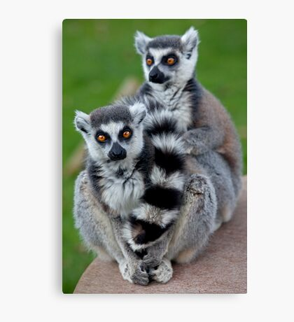 No Scarf Required... (Ring-Tailed Lemurs) Canvas Print