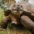 Galapagos Giant Tortoise by Steve Bulford