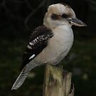 Kookaburra Pose by Jacqueline  Murphy