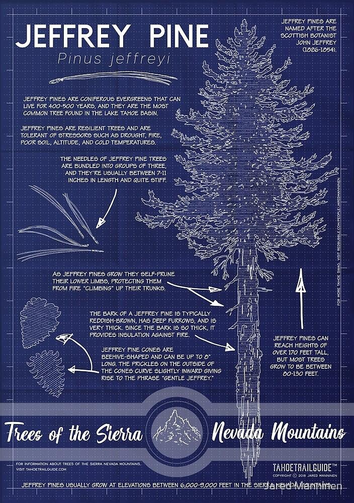 Jeffrey Pine (Pinus jeffreyi) Infographic by Jared Manninen