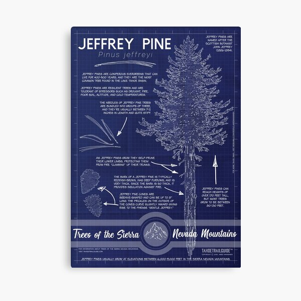 Jeffrey Pine (Pinus jeffreyi) Infographic Canvas Print