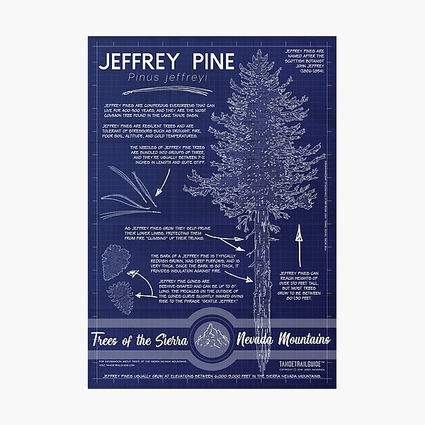 Jeffrey Pine (Pinus jeffreyi) Infographic Photographic Print
