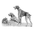 German shorthair pointer by doggyshop