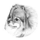 Pomeranian by doggyshop