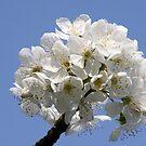 Sweet Cherry by Jo Nijenhuis