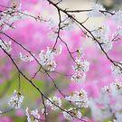 « Sakura japonais blancs au Japon » par stephanebdc