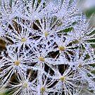 Dandelion dew by Sheri Nye