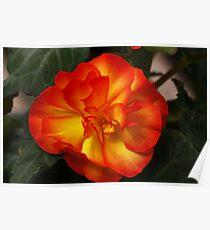 Orange Begonia Poster