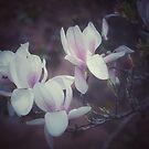 pretty magnolia blossoms by JOSEPHMAZZUCCO