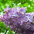 Lilac by ienemien