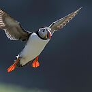 Atlantic puffin (Fratercula arctica) by Stephen Liptrot