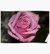 *Pink Rose* Poster
