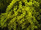 """Fringed Wattle"" by debsphotos"