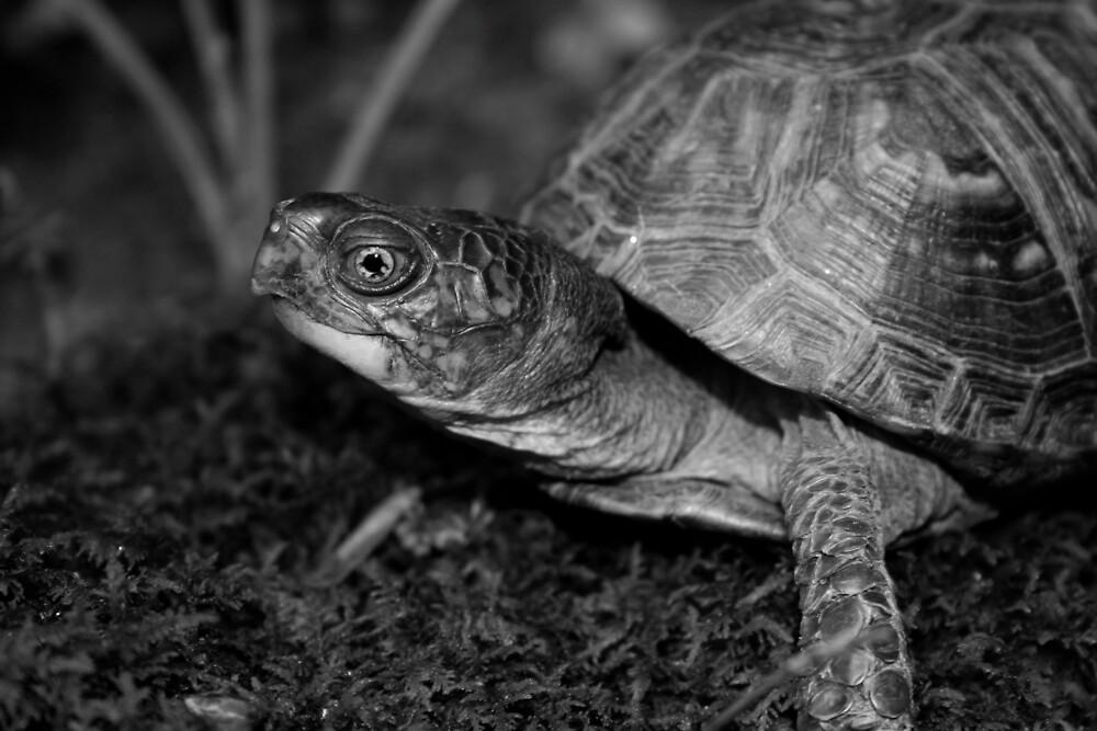Eastern Box Turtle by Karen Kaleta