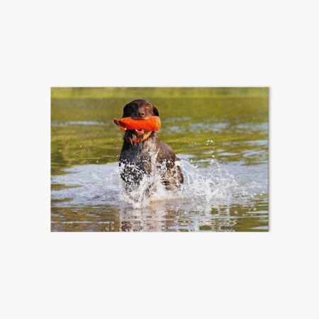 German Wirehaired Pointer retrieving in water Art Board Print
