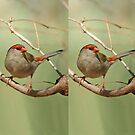 Red-browed Finch 3 by quentinjlang