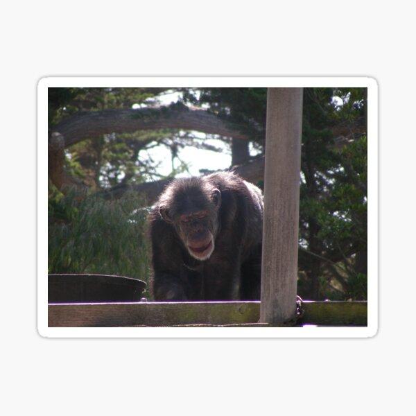 Chimpanzee 001 Sticker