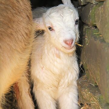 And in farm news ... Newborn goat kid by WesternExposure