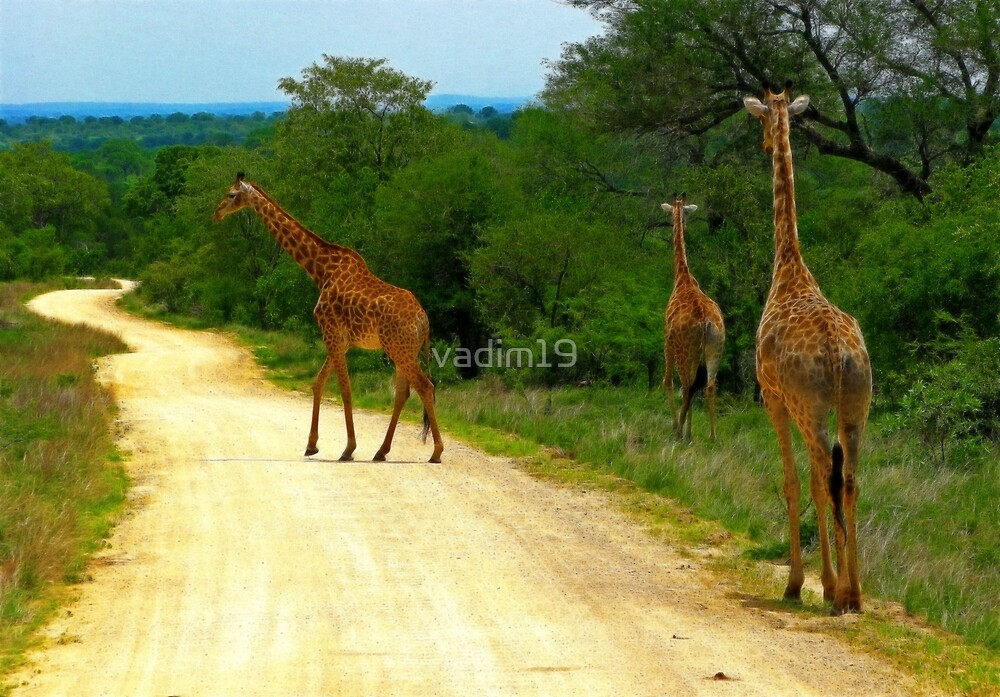 Giraffes, Kruger National Park, South Africa by vadim19