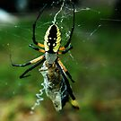 Banana Spider by Cheri Perry
