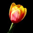 A Beautiful Red Yellow Tulip  by hurmerinta