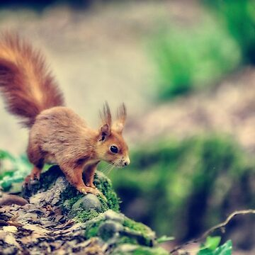 Red squirrel by birba