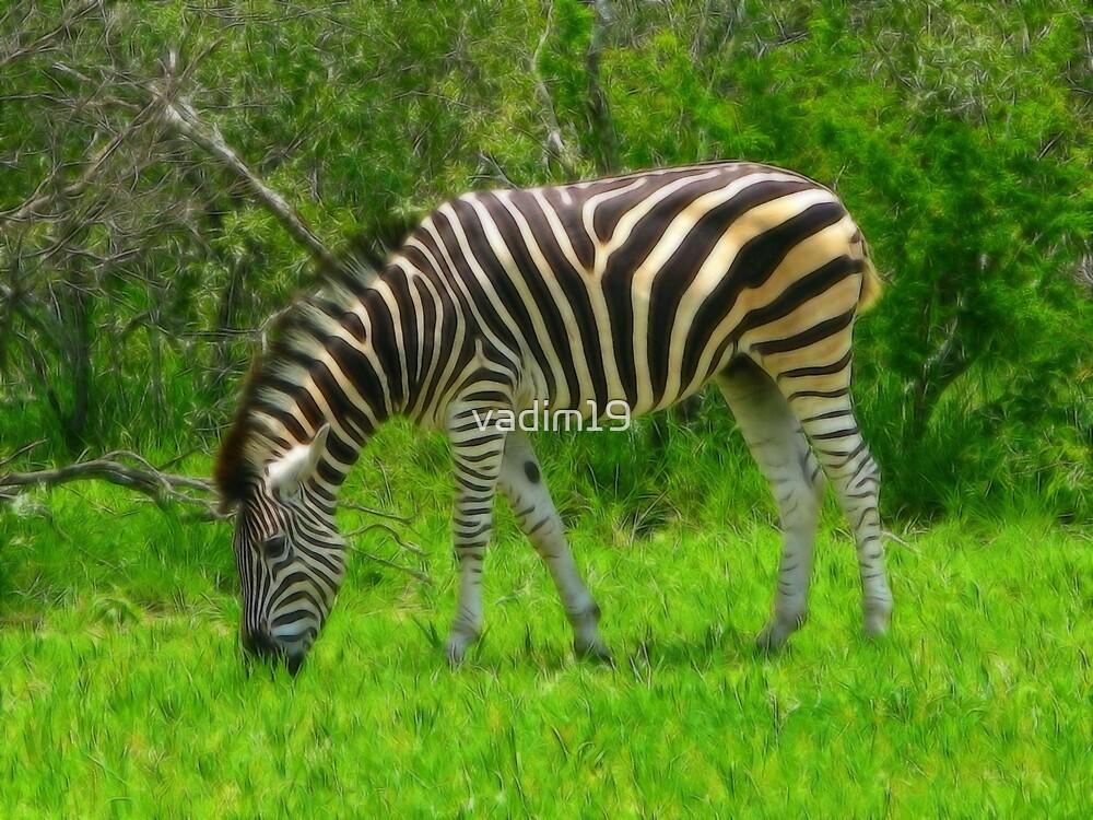 Zebra, Kruger National Park, South Africa by vadim19