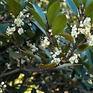 Osmanthus Fragrans #2 by Bev Pascoe
