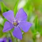 Common periwinkle flower by xophotography