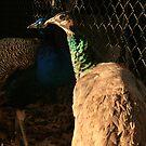 peacocks by spike