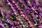 Hummer on Lavender by Anne-Marie Bokslag