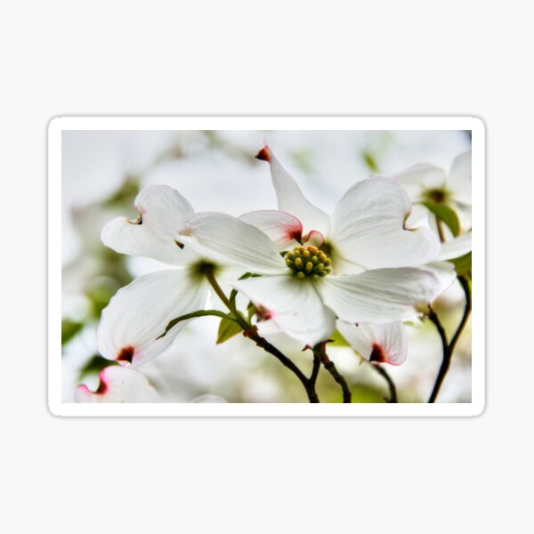 The Legend of the Dogwood _ why they bleed! Sticker