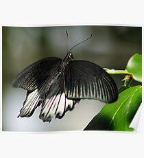 Schmetterling Poster