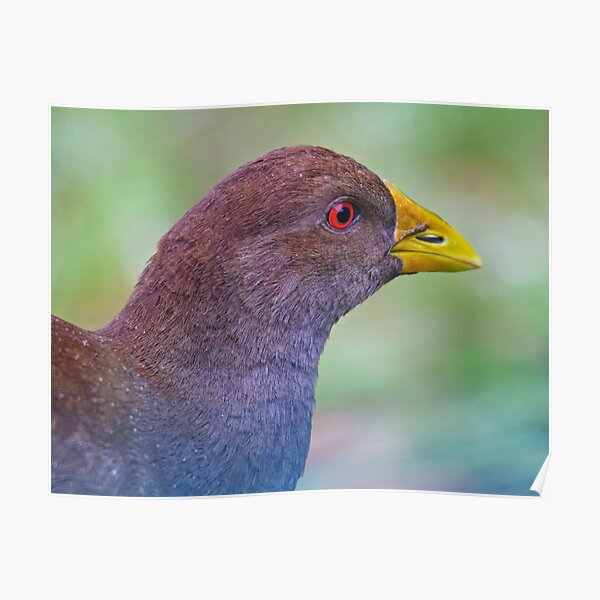 PIYURA ~ Native-Hen by David Irwin ~ WO Poster