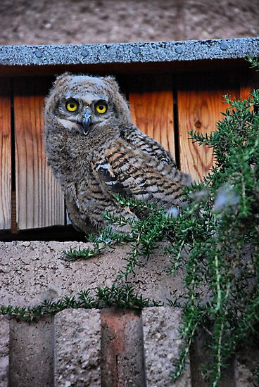 Baby Owl by Barbara Manis
