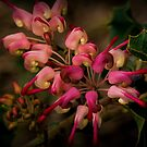 Grevillea insignis. by Bette Devine