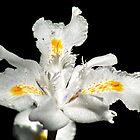 White Butterfly Iris by AnnDixon