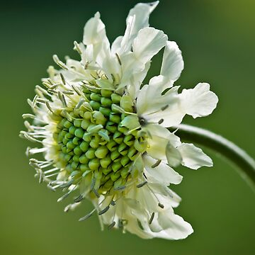 Pincushion Flower Macro, Scabiosa Caucasia by AndyJones
