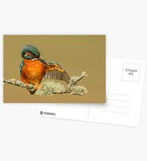 Preening Kingfisher Postcards
