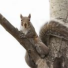 Grey squirrel in tree by Jim Cumming