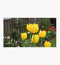 Garden Tulips Photographic Print