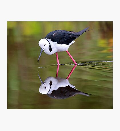 Stilt reflections!! Photographic Print