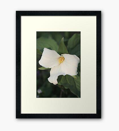 Trillium Bloom Framed Print