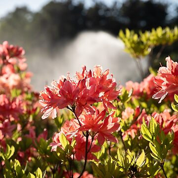 Rhododendron flowers - 2 by palinchak