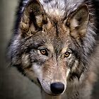 Young Wolf by WesDotPhotos