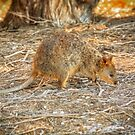 Sunset Quokka, Rottnest Island, Perth by Dave Catley